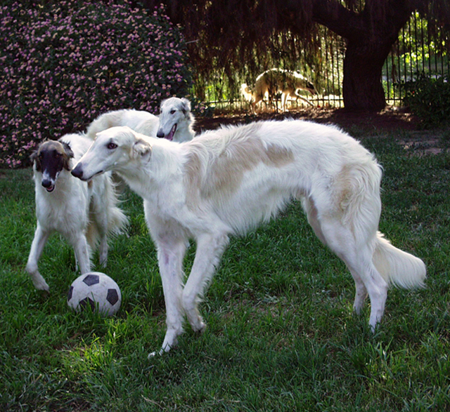 borzoi at gentle giants rescue and adoptions