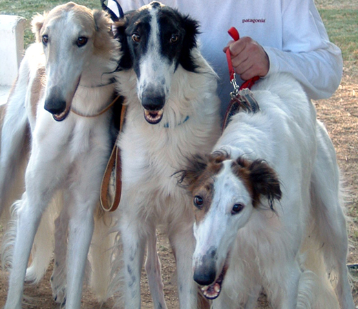 Borzoi Dog Food